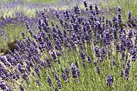 lavender-cachecreek