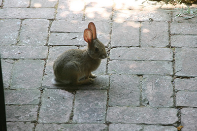 jack_tenant_rabbit_1s.jpg