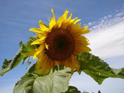sunfloweratalisons.jpg