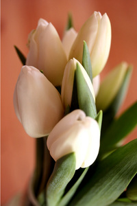 tulipa_branca.jpg