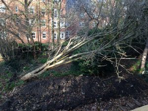 The tree that was lost due to winds in December.