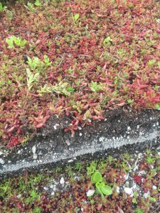 39-20th-may-2016-10-sedum-blanket