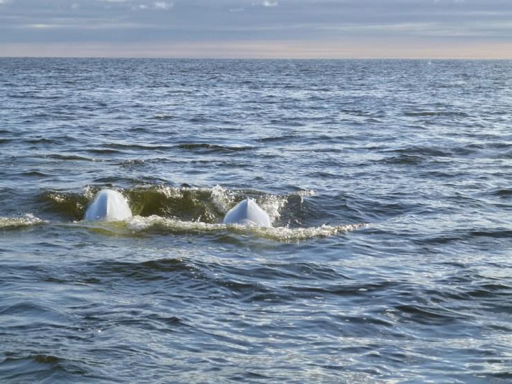Beluga whale couple at Seal River.