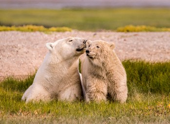 Polar-Bear-Mother-and-Cub-Nanuk-Polar-Bear-Lodge-Ann-Fulcher