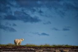 polar-bear-scanning-landscape-seal-river-jad-davenport