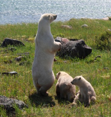 polar-bear-standing-on-lookout-seal-river-heritage-lodge