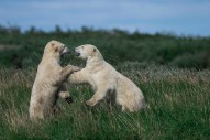 polar-bears-sparring-at-seal-river-heritage-lodge-jad-davenport