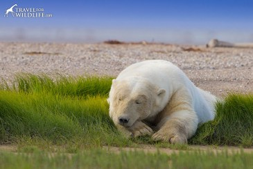 sleepy-summer-polar-bear-nanuk-polar-bear-lodge-travel-for-wildlife