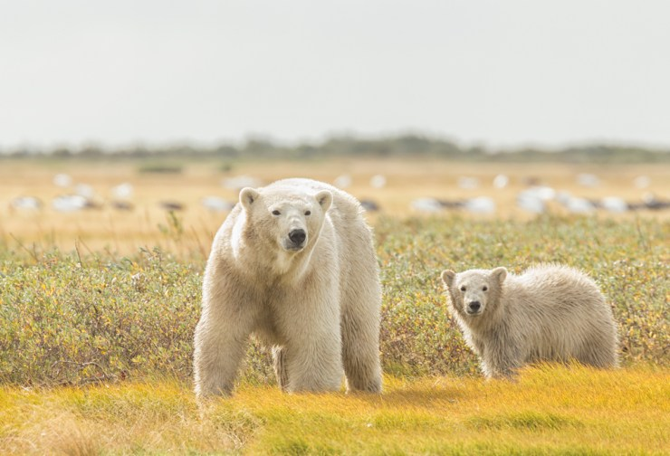 Summer polar bears at Nanuk Polar Bear Lodge.