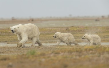summer-polar-bears-mom-and-cubs-nanuk-robert-postma