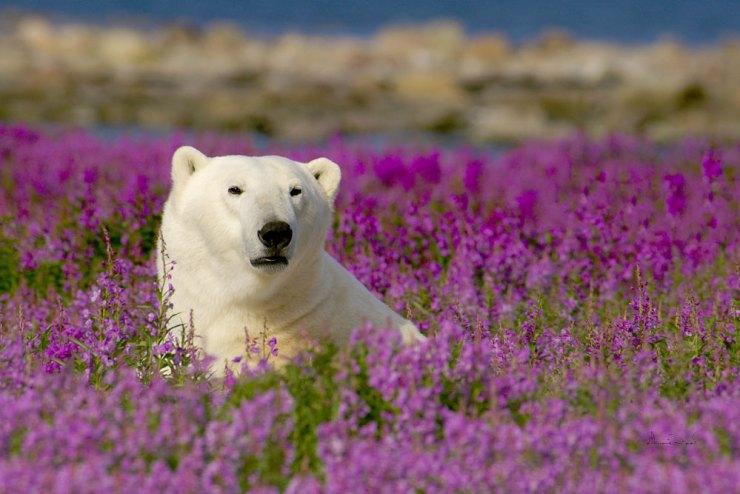 Polar bear in fireweed near Seal River Lodge. Dennis Fast photo.