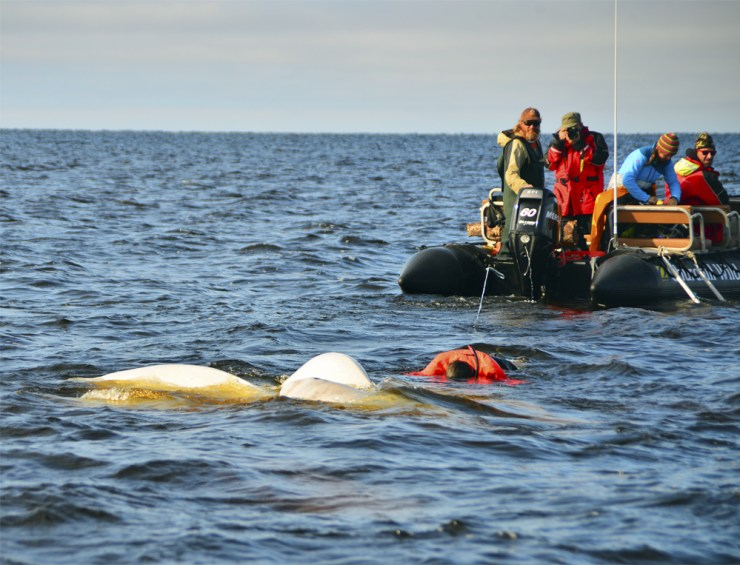 Snorkeling with beluga whales at Seal River Lodge.
