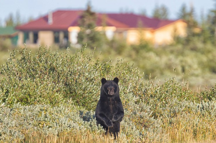 This curious black bear kept popping up and down in the willows in front of the lodge.