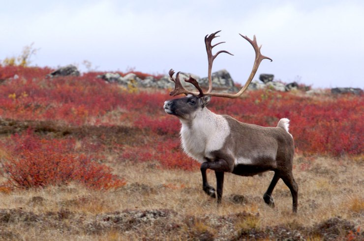 Caribou at Schmok Lake. Dennis Fast photo.