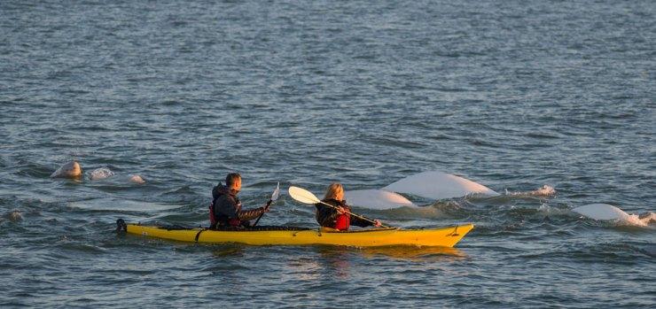 Kayaking among beluga whales is becoming increasingly more popular.