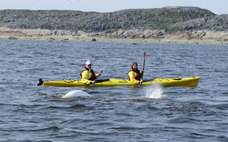 Kayaking with beluga whales in Churchill.