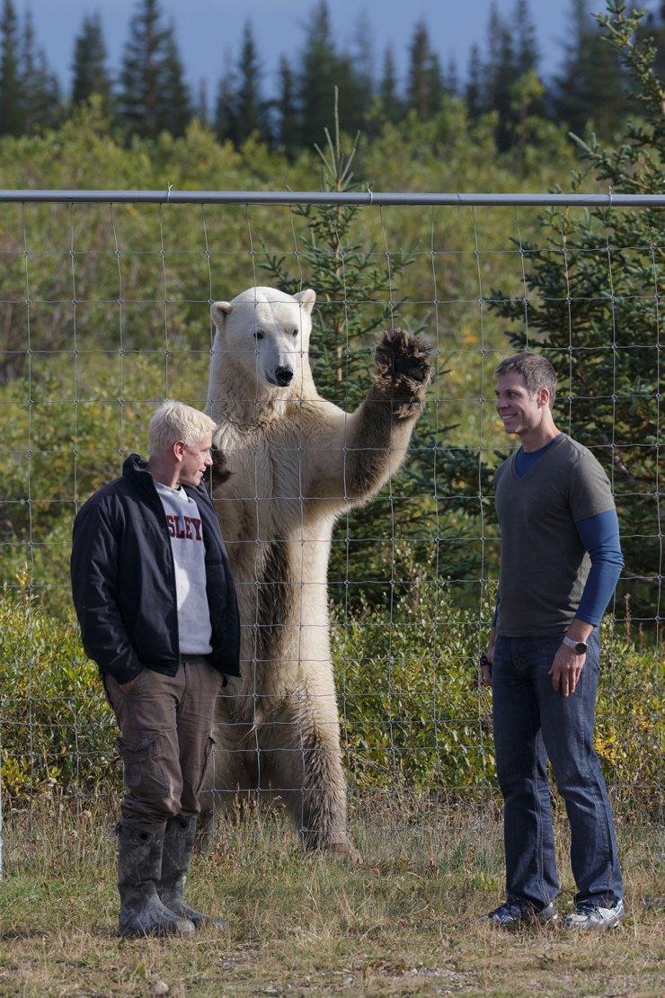 Polar bear gives Nanuk Polar Bear Lodge a high five. Charles Glatzer photo.