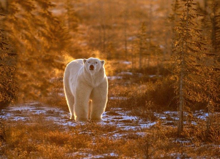 Polar bear in morning sun and fog at Dymond Lake Lodge. Dennis Fast photo.