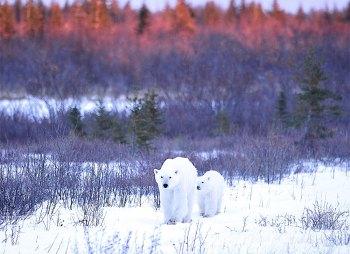 polarbears2ianjohnsonnanuk