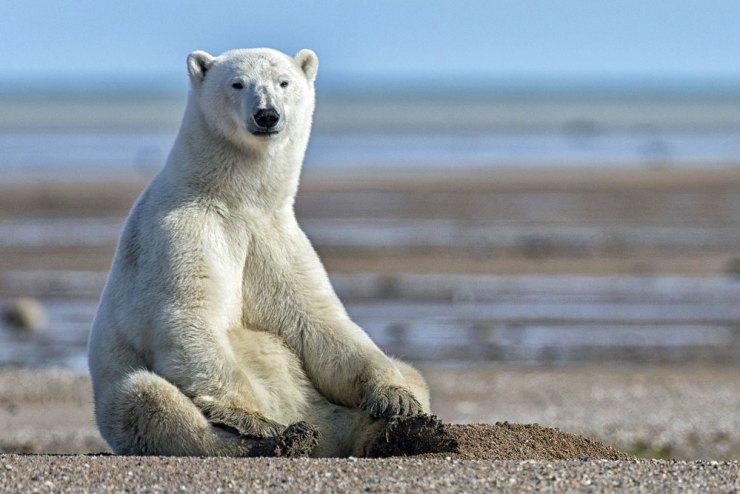 Polar bear relaxing on a gravel bar at Nanuk.