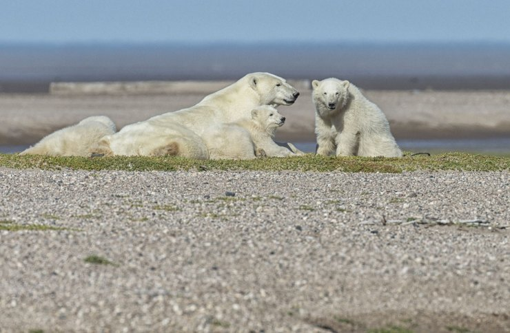 Polar bear mother and cubs lounging on gravel bar at Nanuk. Robert Postma photo.