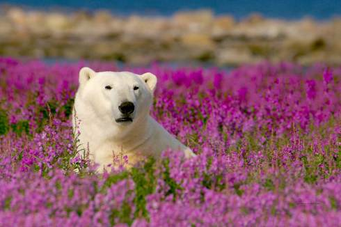 Fireweed-bear-Birds&Belugas