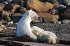 PolarBears-4-Birds&Belugas