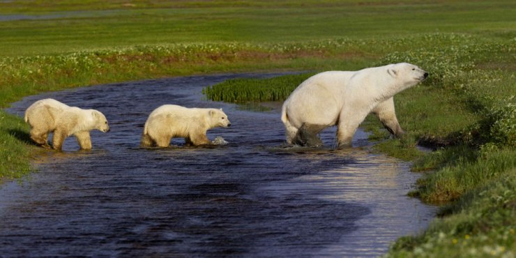 Polar bear cubs follow Mom across creek at Nanuk Polar Bear Lodge.