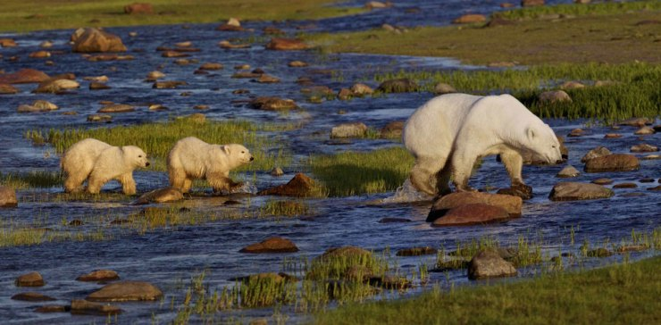 Polar bears crossing creek at Nanuk Polar Bear Lodge.