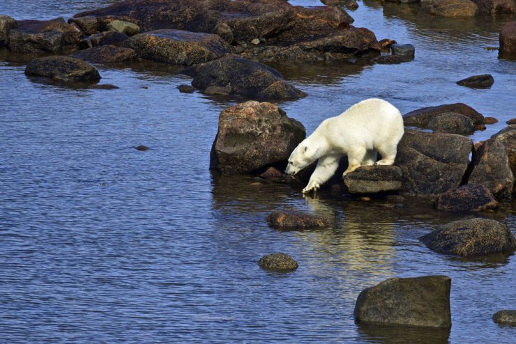 Polar bear testing the waters at Fireweed Island.