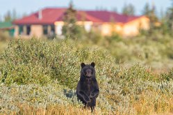 Black-bear-nanuk-by-Robert-Postma