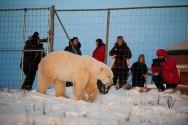 Polar-Bear-Fence-2-Birgit-cathrin-Duval