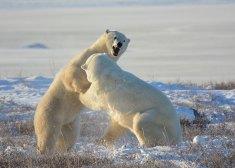 PB-1ST-L-McLeish-GIB-Wildlife-Polar-Bear