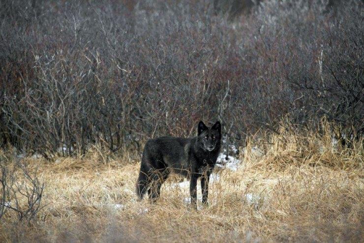 Black wolf at Nanuk Polar Bear Lodge. Zach Doleac photo.