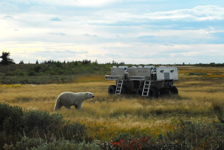 "Curious polar bear meets ""rhino"" at Nanuk Polar bear Lodge. Doreen Booth photo."