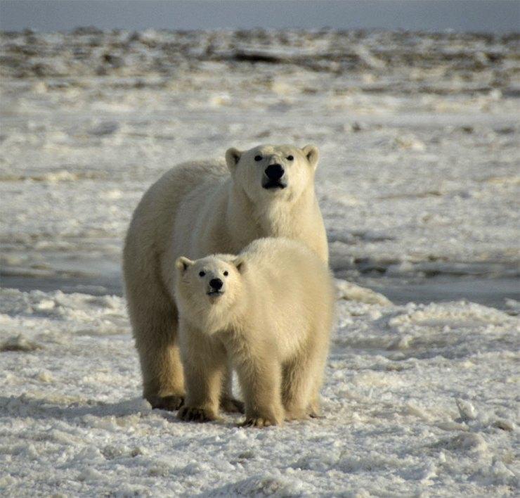 Polar bear Mom and cub giving us a curious look. Nanuk Polar Bear Lodge.