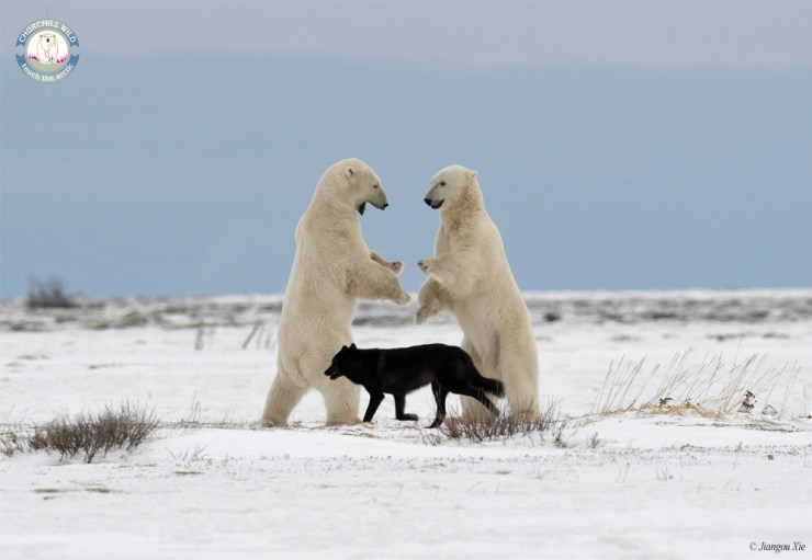 Black wolf referees polar bear sparring match at Nanuk. Jiangou Xie photo.