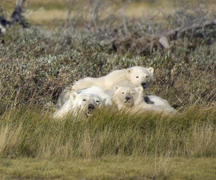 polarbearfamilynanuk