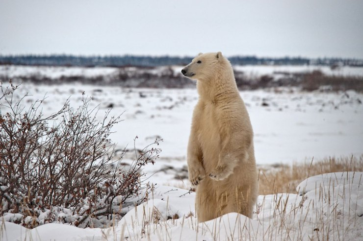Polar bear on the lookout at Dymond Lake Ecolodge. Dennis Fast photo.