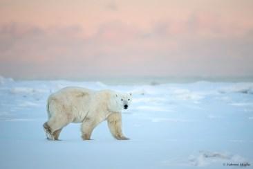 Polar bear in blue light on photo safari.