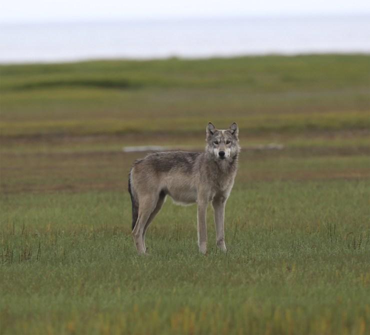 Lone wolf at Nanuk Polar Bear Lodge.