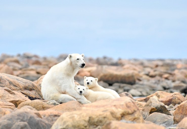 Polar bear cubs relaxing with Mom at Seal River.