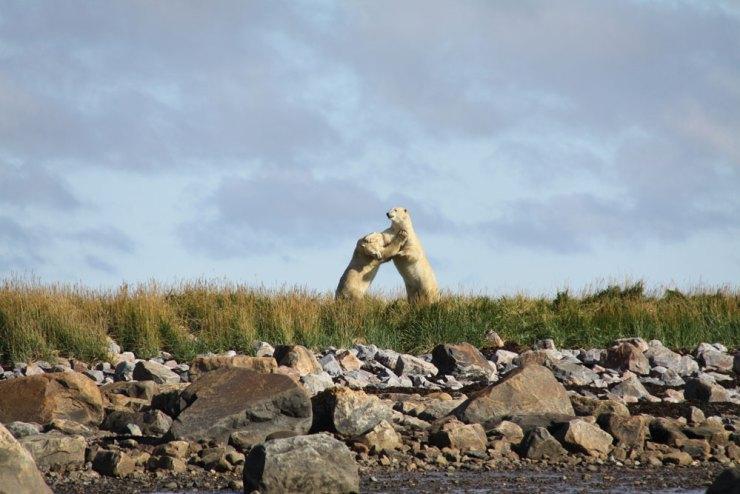 Polar bears sparring near Seal River Heritage Lodge. Jennifer Ennion photo.