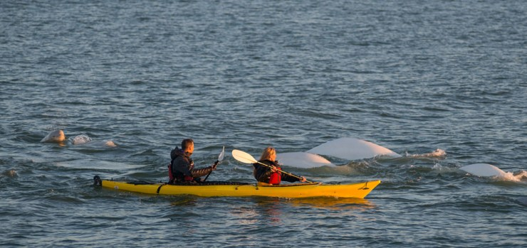 Kayaking with beluga whales on the Arctic Discovery adventure.