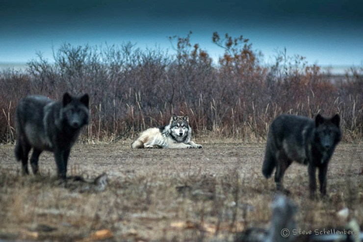 Tawny wolf with ghostly guards at Nanuk. Photo by Steven Schellenberg.