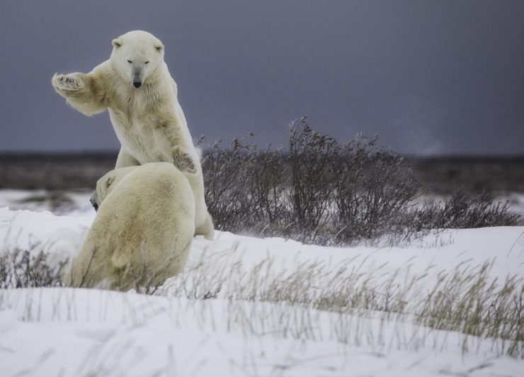 Polar bears sparring at Nanuk. Robert Postma photo.