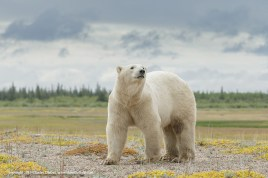 Nanuk polar bear photo graces text book cover. Charles Glatzer.