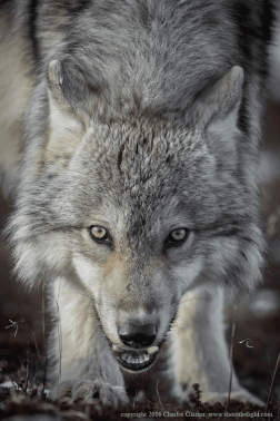 Wolf at Nanuk. Charles Glatzer.