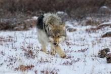 Stalking at Seal River. Derek Kyostia.