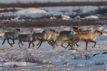 Caribou at Seal River. Andy Skillen.